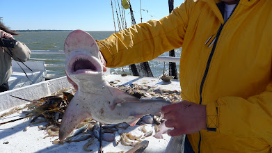 Photo: A hammerhead shark pulled up in the shrimp nets of the Lady Jane.