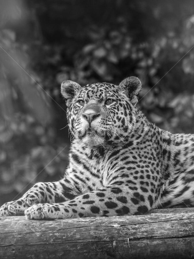 Jaguar by Garry Chisholm - Black & White Animals ( nature, mammal, big cat, jaguar, garry chisholm )
