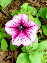 Photo: Petunias