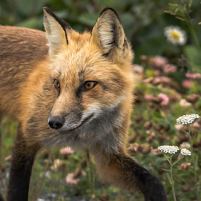 Turning Back by Ronnie Sue Ambrosino - Animals Other Mammals ( checking out, red fox, stalk, newfoundland, stalking, fox, turning back,  )