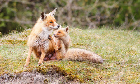 Waarom moet, naast de kip, ook de vos beschermd worden?
