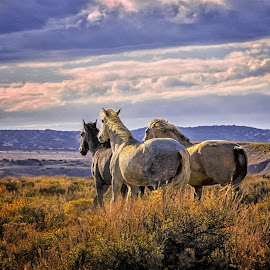 Wild and Free by Jeannie Martin - Animals Horses ( sunset, western, wild, colorado, horses )