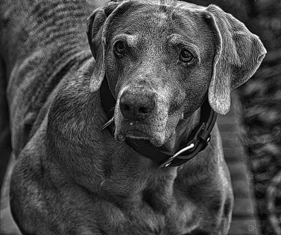 Hazel by Jim Antonicello - Black & White Animals ( b&w, pet, dog,  )