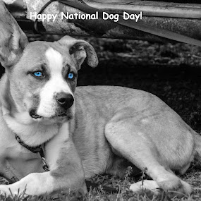 Blue eyes by Deborah Murray - Typography Captioned Photos ( blue, black and white, outdoors, summer, blue eyes, dog,  )