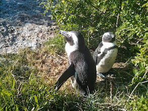 Photo: African Penguins