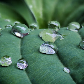 Hosta Drops by Jim Salvas - Nature Up Close Leaves & Grasses ( green, lines, raindrops, leaves, hosta )