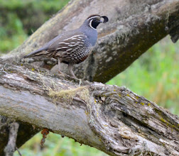Photo: 88. The California quail, with its characteristic teardrop shaped head plume. I saw several of these along the North Shore Trail and even got to see several very young chicks up close. This is indeed a great place to spot wildlife, as well as take in the coastline.