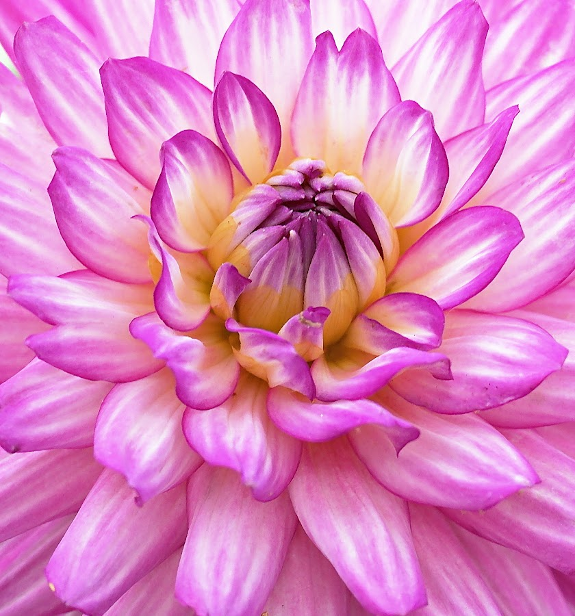 Dahlia Close-Up by Millieanne T - Flowers Single Flower