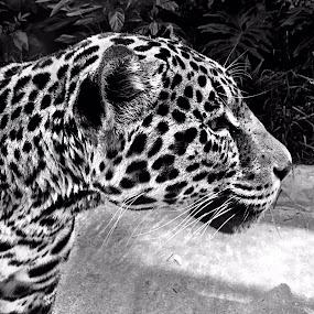 Jaguar, B&W by Charline Ratcliff - Black & White Animals ( big cat, jaguar, up close, nature, black and white, wildlife, animal,  )