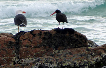Photo: Pacific Gull and Sooty mates...