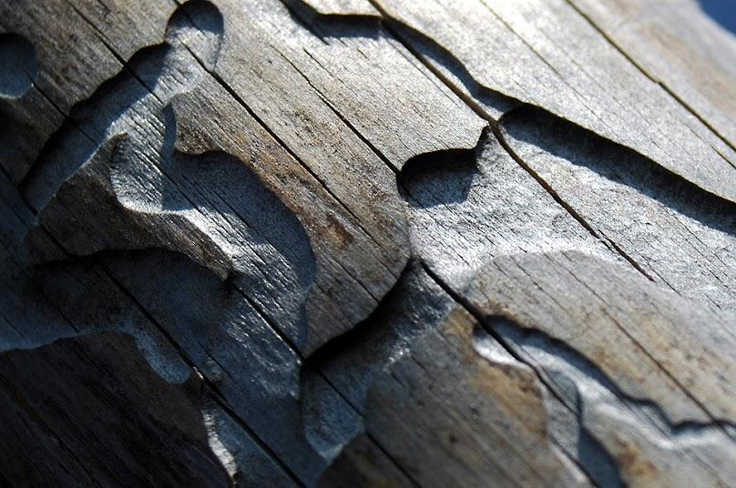 Typ szkodnika możemy rozpoznać po kształcie i głębokości otworów w drewnie.