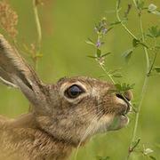 Сонник заяц
