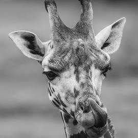 Giraffe portrait by Barry Smith - Black & White Animals ( mammals, giraffe, monochrome, black and white, animals )