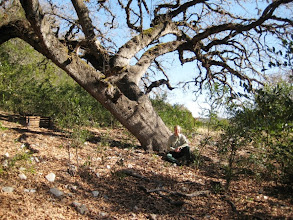 """Photo: This big Lacey Oak (Quercus laceyi) is #2 on our list, also on the Detering Ranch, near a place they call """"The Valley of Big Trees."""""""