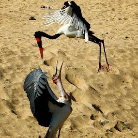 Stork-ings by Gareth Carter - Animals Birds ( untamed odyssey, marabou stork, gareth carter photography, gareth carter, birds, birding, saddle billed stork )