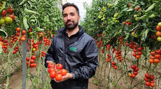 """""""Ateneo es la variedad de referencia en tomate rama para exportación"""""""