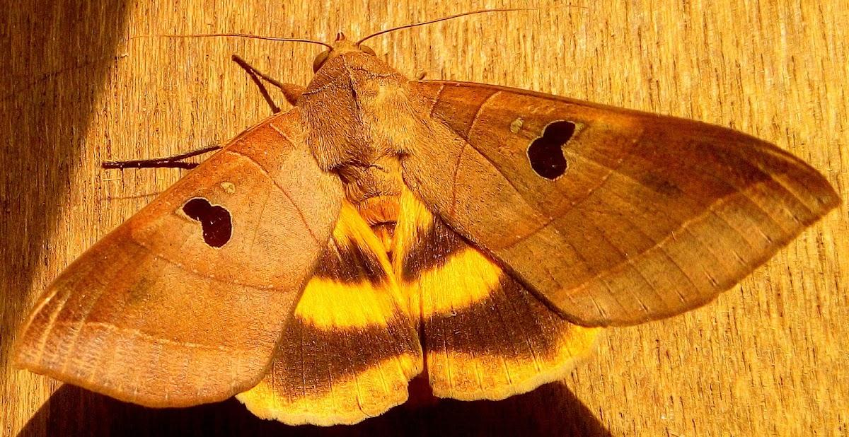 Noctuid Moth ♀
