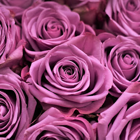 Just more Pink by Maria Epperhart - Flowers Flower Arangements ( arrangement, flowers, roses,  )