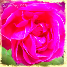 Photo: Grateful for the luscious roses on my front porch.