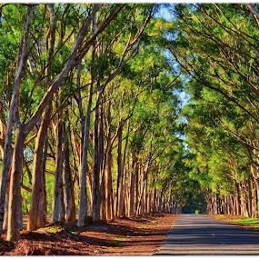 Tree Lined Lane by Glenn Visser - Landscapes Travel ( trees, light, lane, country )