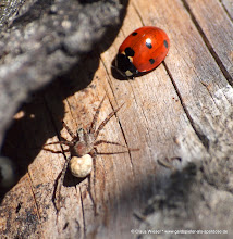 Photo: Spinne + Marienkäfer