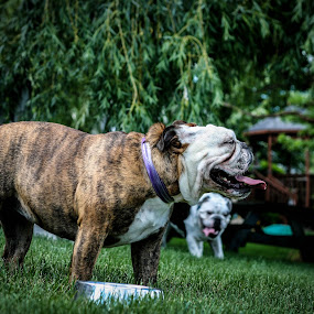 Siblings by Maria Sicilian - Animals - Dogs Portraits ( english bulldog, grass, green, happy, relaxed, outdoors, tired, dulldog, play time, english, outside, green grass )