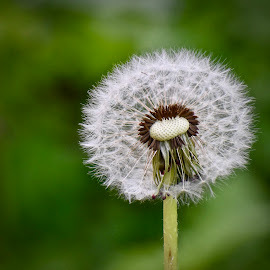 Dandelion by Viana Santoni-Oliver - Nature Up Close Other plants ( green, nature, seasonal, seeds, center, flower, spring, outdoor, white, outside, plant, danelion, weed, blurry background, fuzzy, stem )