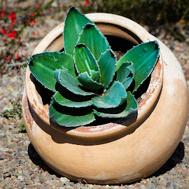 Potted cactus by Dave Lipchen - Nature Up Close Other plants ( potted cactus )