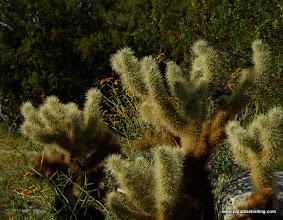 Photo: Cholla; Anza Borrego Desert State Park