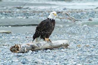 "Photo: Bald Eagle as seen on the Tatshenshini River. The ""Tat"" flows out of Yukon, CA, through British Columbia and empties into Glacier Bay National Park in Alaska, US. near the Tashenshini River. The ""Tat"" flows out of Yukon, CA, through British Columbia and empties into Glacier Bay National Park in Alaska, US."