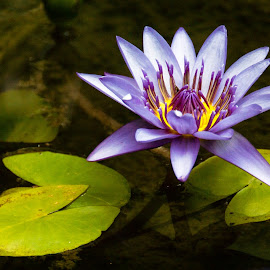 Lilly by Mark Luyt - Flowers Single Flower ( lotus flower, pond, colour, bright, lilly )