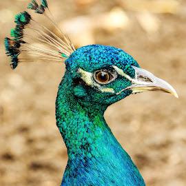 Indian peafowl portrait by Edwin Godinho - Animals Birds ( animals, wildlife photography, indian peafowl, beautiful, wildlife, birds, bird photography, portrait, pavo cristatus,  )