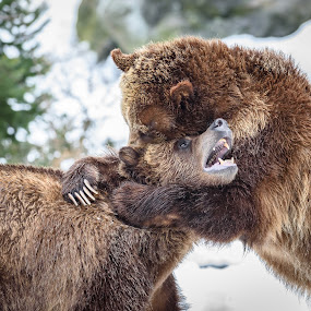 Bear Hugs by John Sinclair - Animals Other Mammals ( bear, nature, grizzly bear cub sow nature wildlife yellowstone national park montana wyoming, wildlife )