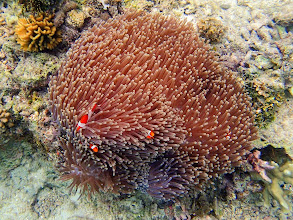 Photo: Amphiprion Ocellaris (Ocellaris Clownfish) with Heteractis magnifica, (Ritteri Anemone), Miniloc Island Resort reef, Palawan, Philippines