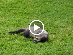 Video: Tigger