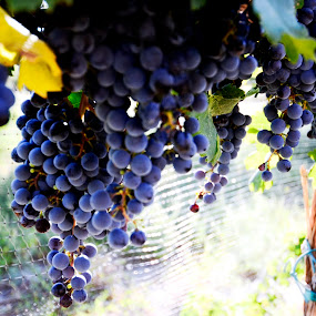 Red Wine Grapes by Kimberly Sheppard - Nature Up Close Gardens & Produce ( wine, fruit, vineyard, vines, grapes, produce )