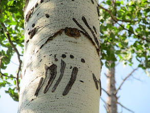 Photo: Bear claw marks in an aspen tree
