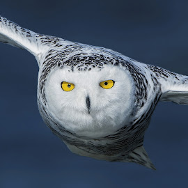 Snowy Owl by Zaphir Shamma - Animals Birds ( beautiful, owl, raptor, snowy owl, eyes )