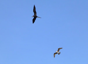 Photo: Male Magnificent figatebird with fish chased by juvenile seagull.