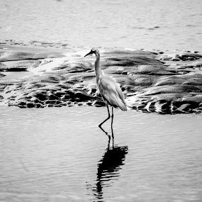 Walking on Water by Gabriel Cabrera - Animals Birds ( animals, black and whait, birds, heron )