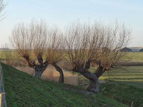 Photo: Knotwilgen aan de Buitendijk, Strijen Sas