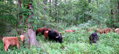 Photo: Herd browsing some thick underbrush...