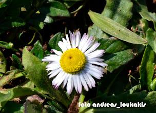 Photo: bellis longifolia