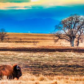 Buffalo fields by Bruce Newman - Landscapes Prairies, Meadows & Fields ( evening light, dramatic, landscape, colorful, landscape animal,  )