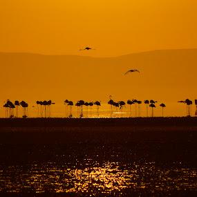 flamingo by Mustafa Tor - Animals Birds ( orange, lake, sunrise, flamingos, birds )