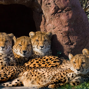 Zoo Cheetah Family by Carl Chalupa - Animals Lions, Tigers & Big Cats ( cheetah, zoo,  )
