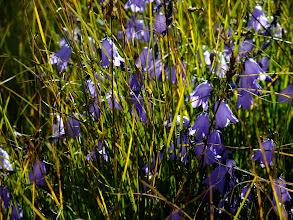 Photo: Bluebells