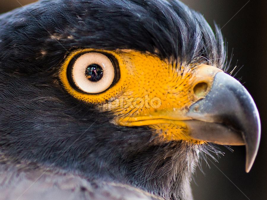 Crested Serpent Eagle by Etha Ngabito - Animals Birds ( eagle, wildlife, elang, birds, animal )