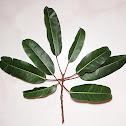 Caulocarpa Fig