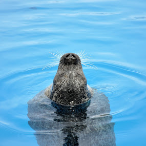 Blue Seal by Jon Hurd - Animals Other ( water, aquatic, nature, seal, glide, swim, whiskers, wildlife )